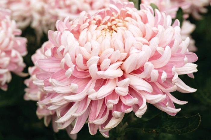 le langage des fleurs chrysanthème