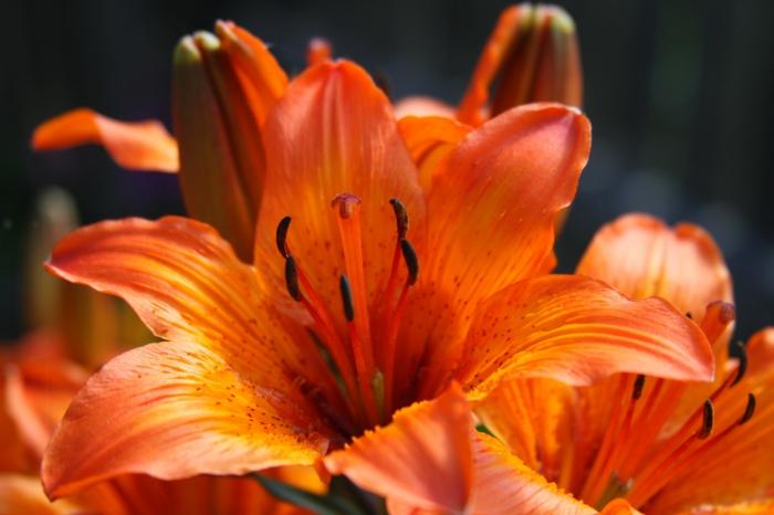 le langage des fleurs fleur de lys en orange