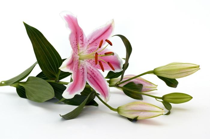 le langage des fleurs fleur de lys