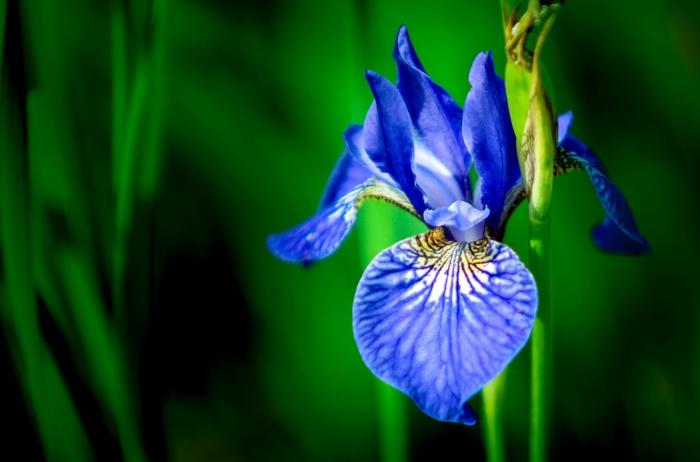 le langage des fleurs iris