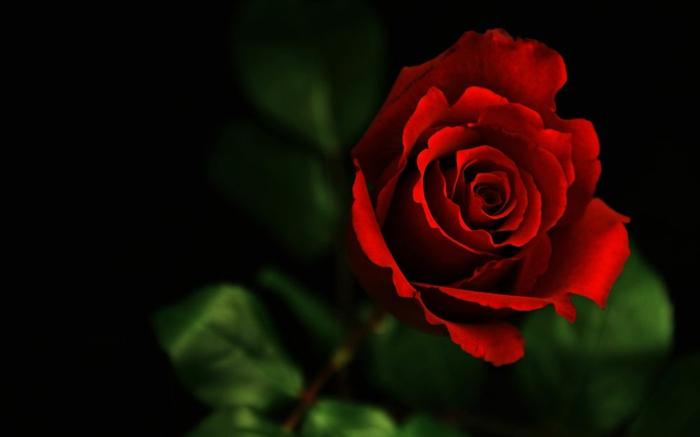 le langage des fleurs la rose rouge