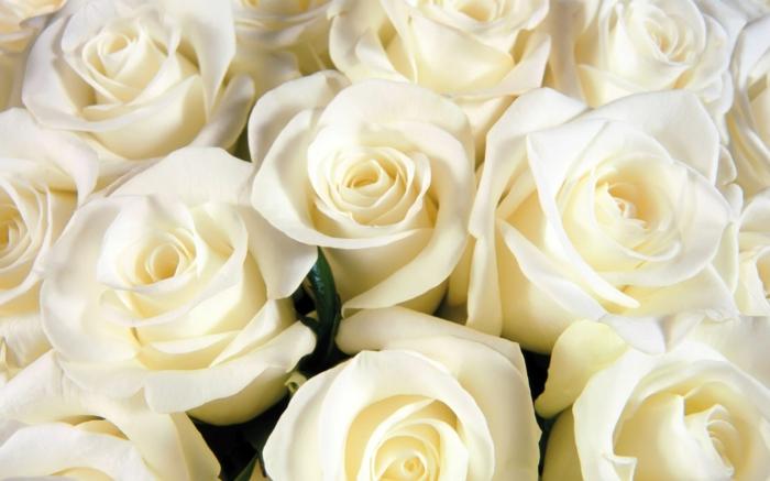 le langage des fleurs rose blanche