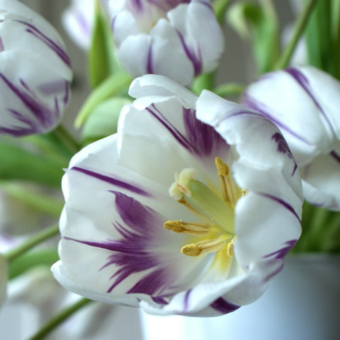 le langage des fleurs tulipes en blanc et violet