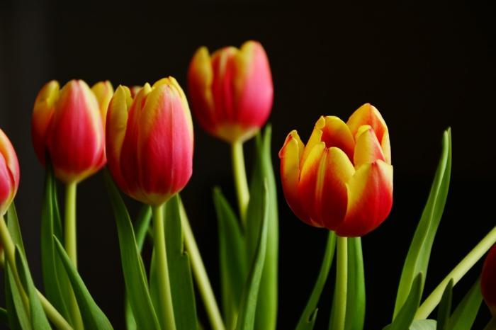 le langage des fleurs tulipes