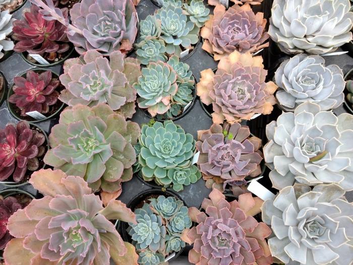 plante succulente echeveria idées déco maison