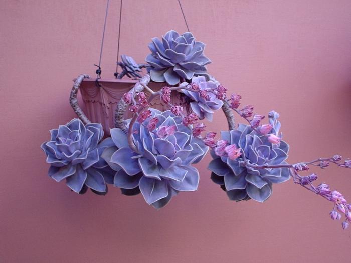 plante succulente echeveria perle von nürnberg