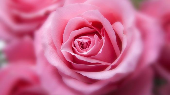 rose en rose le langage des fleurs