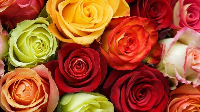 roses le langage des fleurs