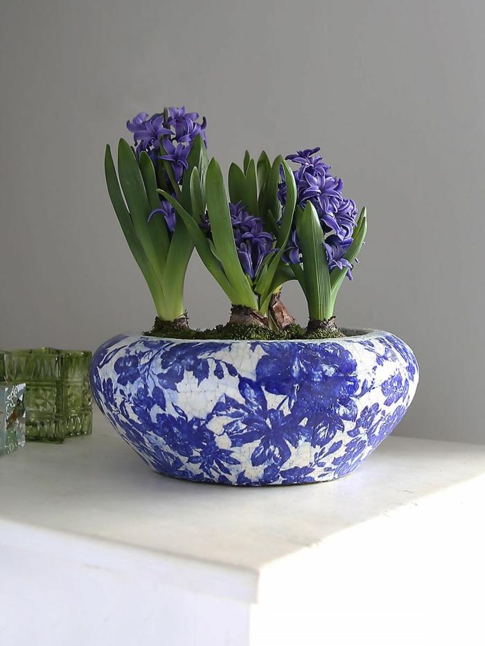bleu jacinthe en pot comment planter