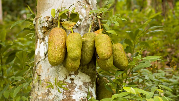 comment consommer le fruit du jacquier