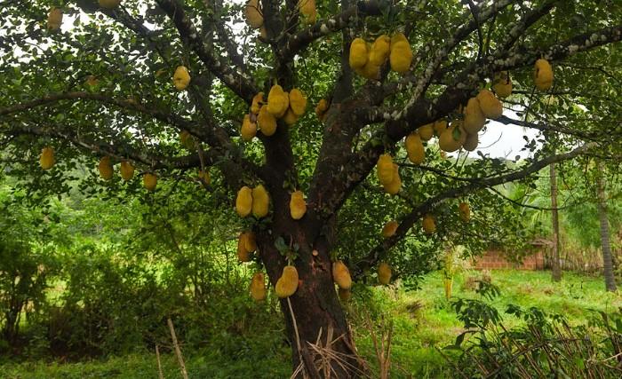 connaître le fruit du jacquier