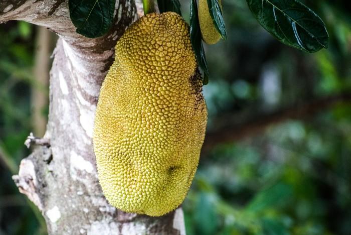 fruit du jacquier mûr