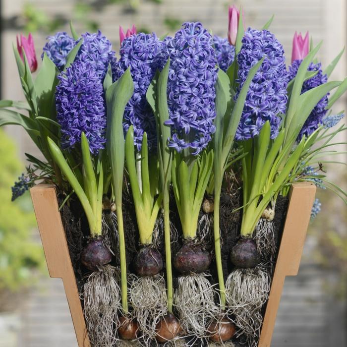 jacinthe en pot avec des tulipes