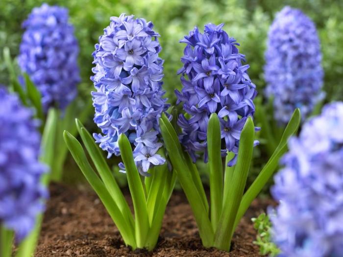 jacinthe en pot couleur bleu