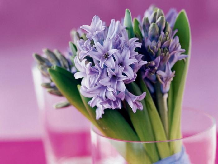 jacinthe en pot couleur violet