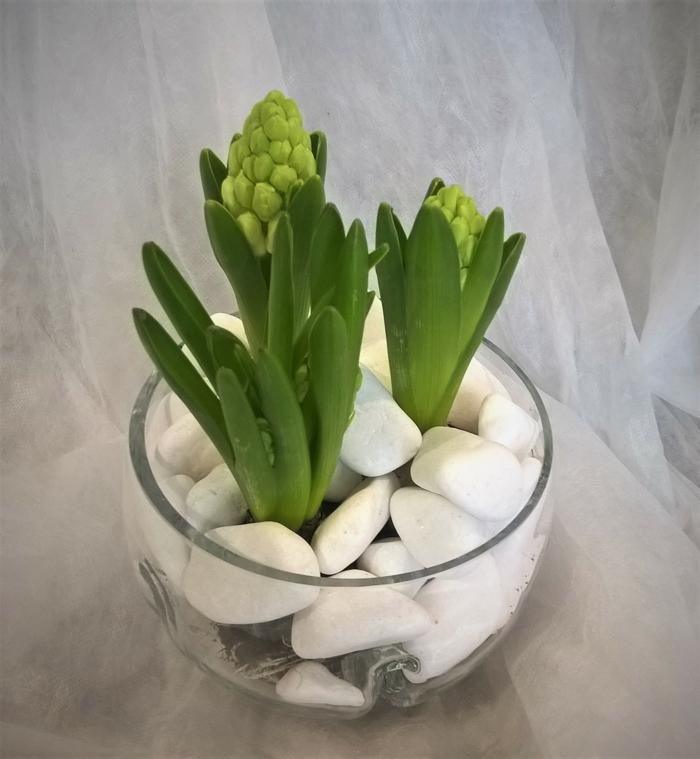 jacinthe en pot en verre
