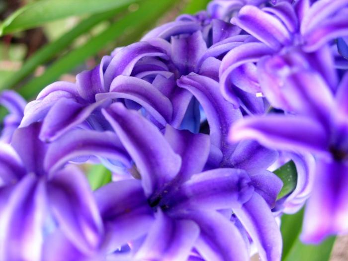 jacinthe en pot