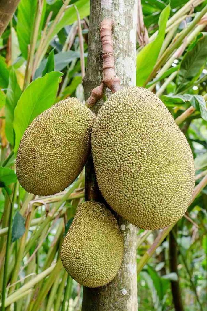les bienfaits du fruit du jacquier