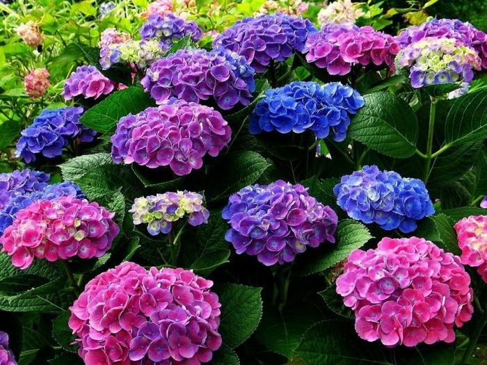 Hortensia en pot comment planter et cultiver ce joli arbuste - Comment bouturer un hortensia ...