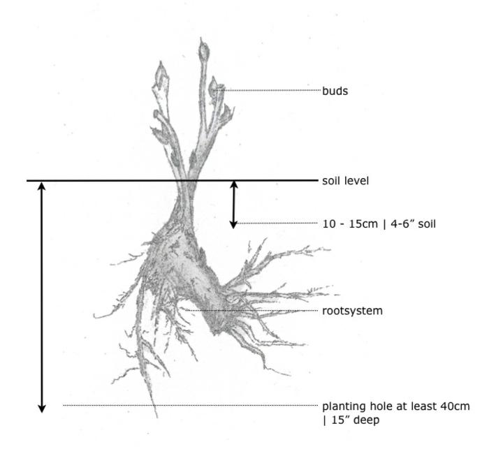 comment planter la pivoine arbustive