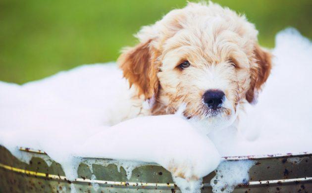shampoing chien fait maison
