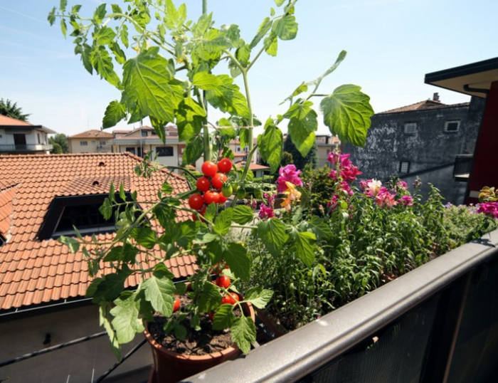 cultiver des tomates potager balcon