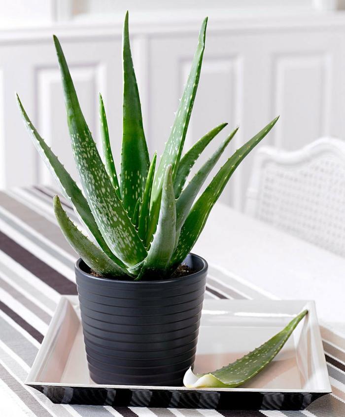 grande plante d'aloe vera pot plastique