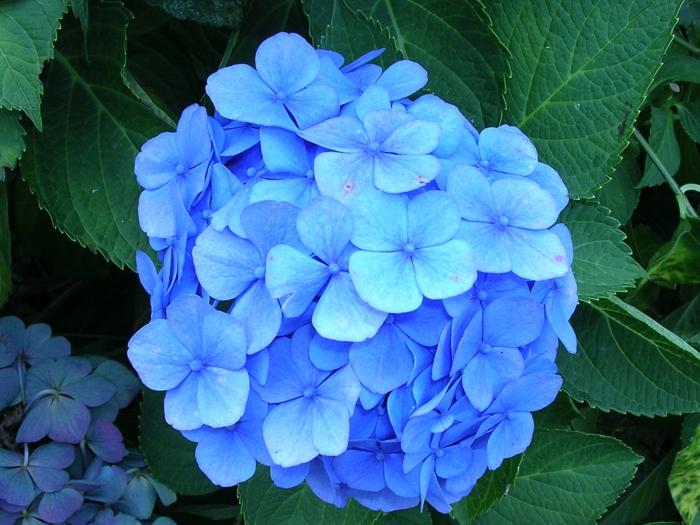 hortensia en pot de couleur bleue