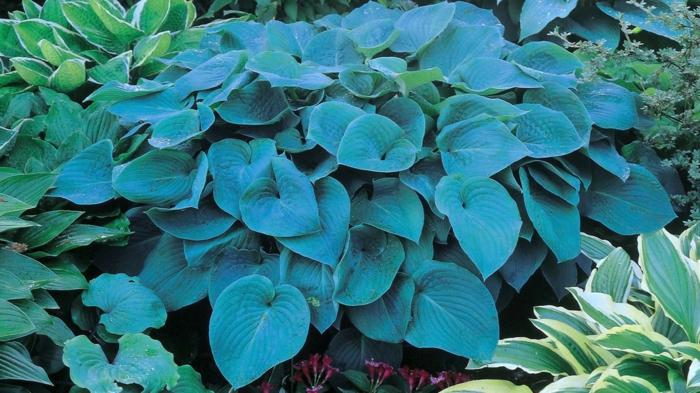 idée plante couvre-sol hosta