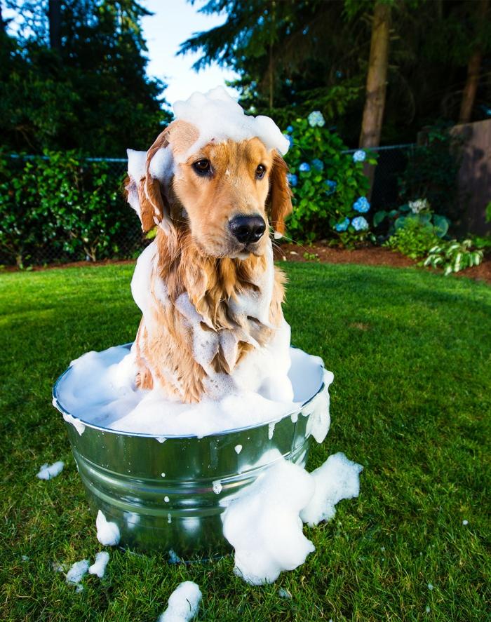 laver chien shampoing chien
