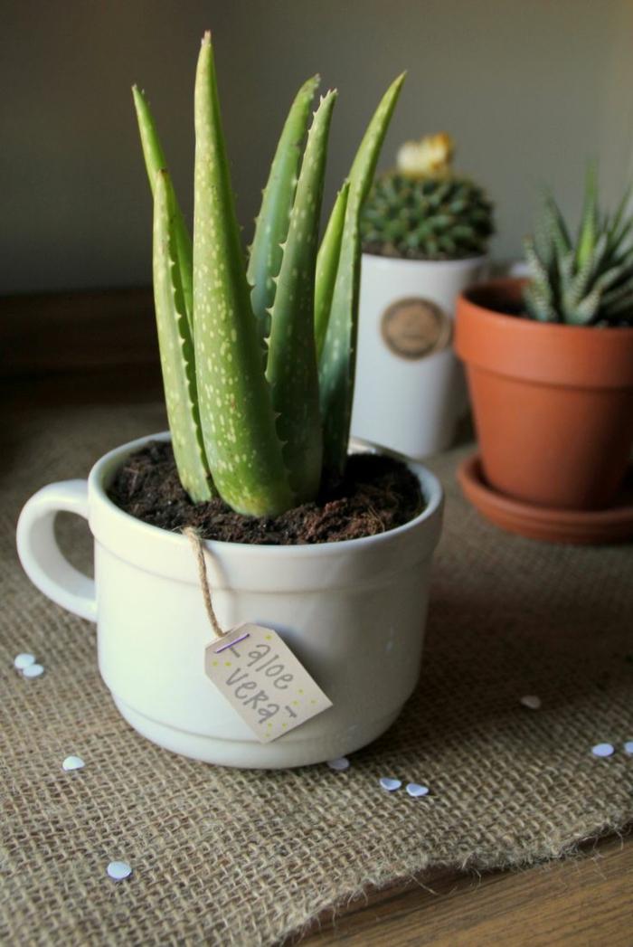 petite plante d'aloe vera dans tasse à thé