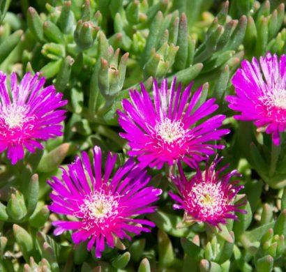 plante couvre-sol
