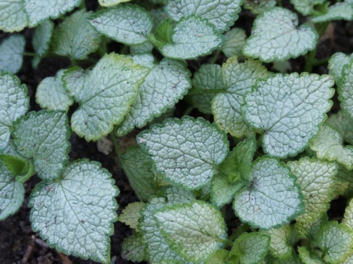 plante couvre-sol Lamium maculatum