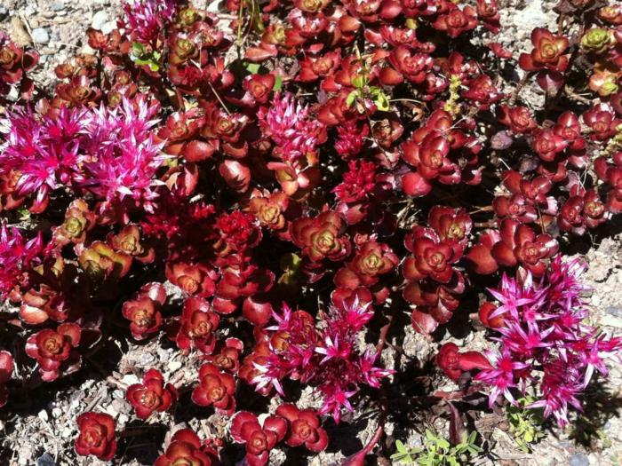 plante couvre-sol Phedimus spurius