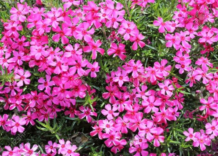 plante couvre-sol Phlox mousse