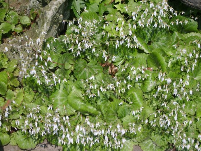 plante couvre-sol Saxifraga stolonifera ombre