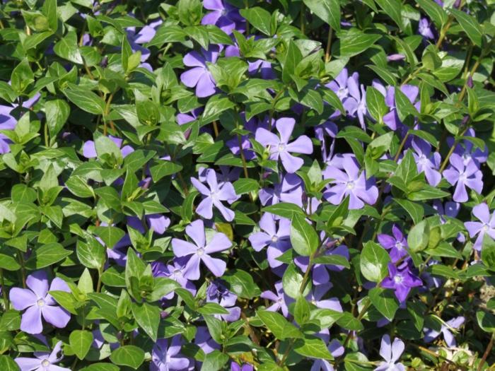 plante couvre-sol Vinca major