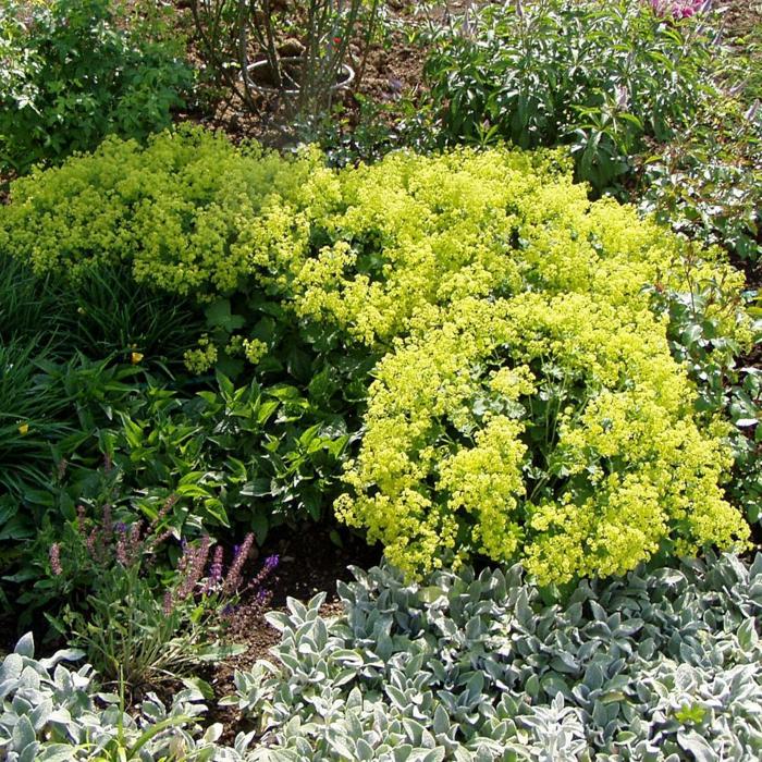 plante couvre-sol alchémille