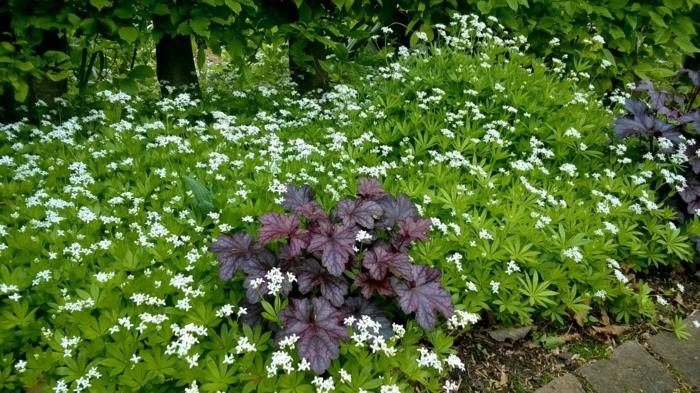 plante couvre-sol aspérule odorante ombre