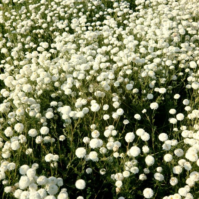 plante couvre-sol camomille romaine mi-ombre