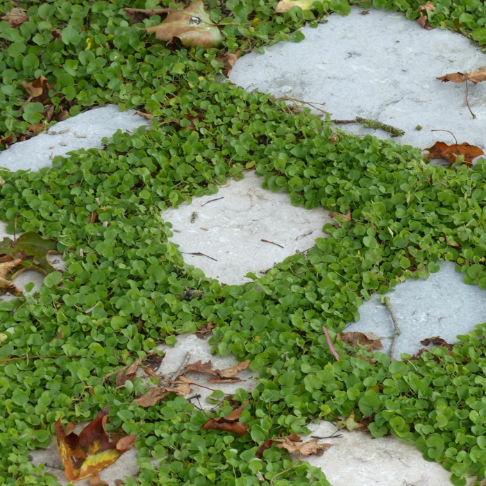 plante couvre-sol dichondra rampant