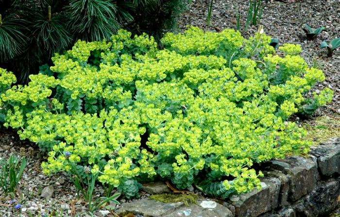 plante couvre-sol euphorbe