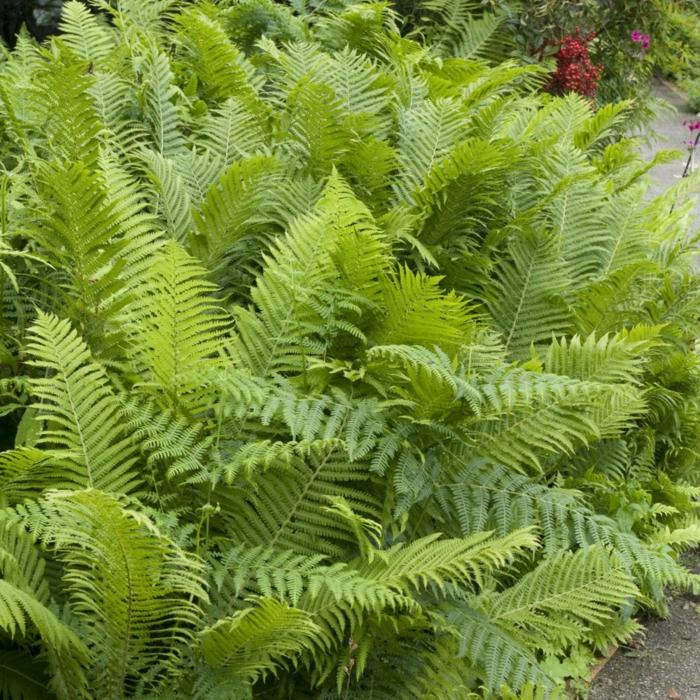 plante couvre-sol fougère
