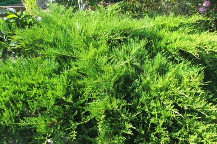 plante couvre-sol genévrier rampant