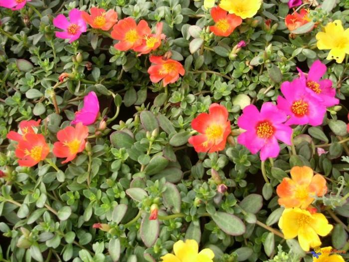 plante couvre-sol pourpier