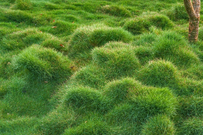 plante couvre-sol zoysia tenuifolia