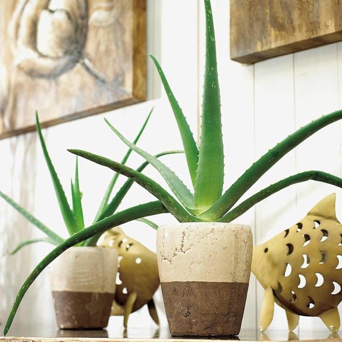 plante d'aloe vera cache-pot en pierre
