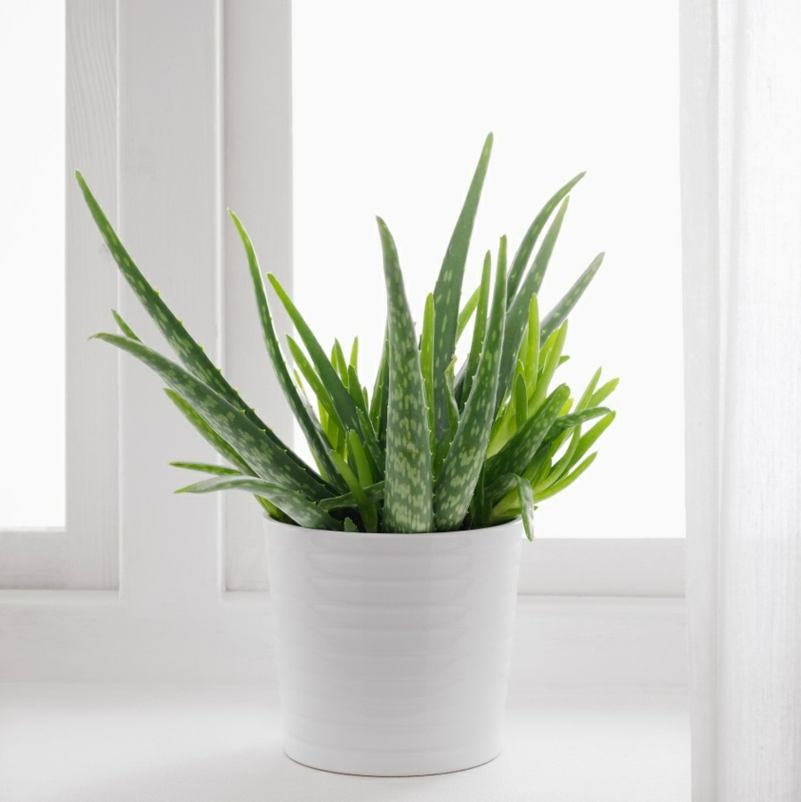 id es de d coration int rieure avec la plante d 39 aloe vera. Black Bedroom Furniture Sets. Home Design Ideas