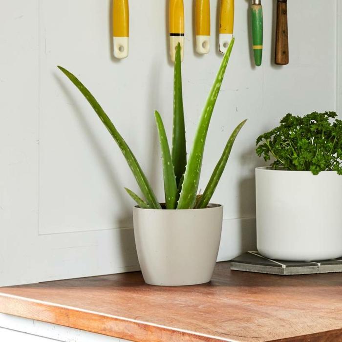 plante d'aloe vera pot en plastique cuisine