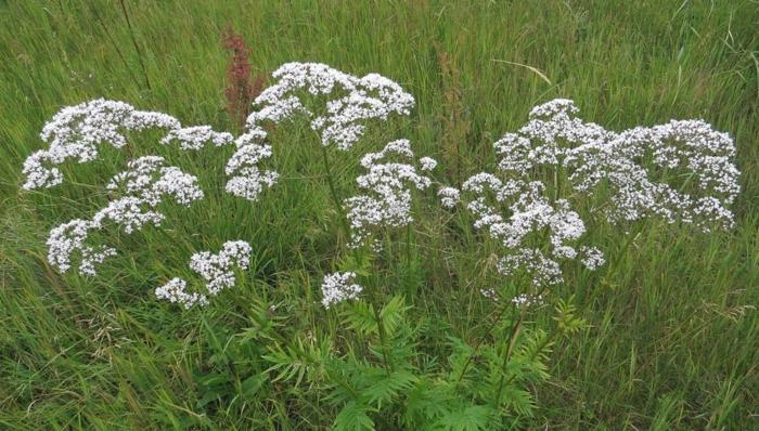 plante valériane tranquillisant et somnifère